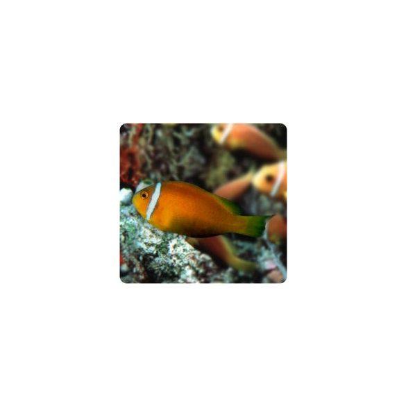 Amphiprion nigripes (Maldív bohóchal)