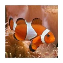 Amphiprion ocellaris (M)
