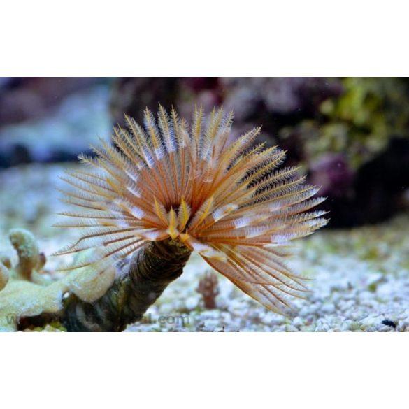 Sabellastarte spectabilis (Nagy)