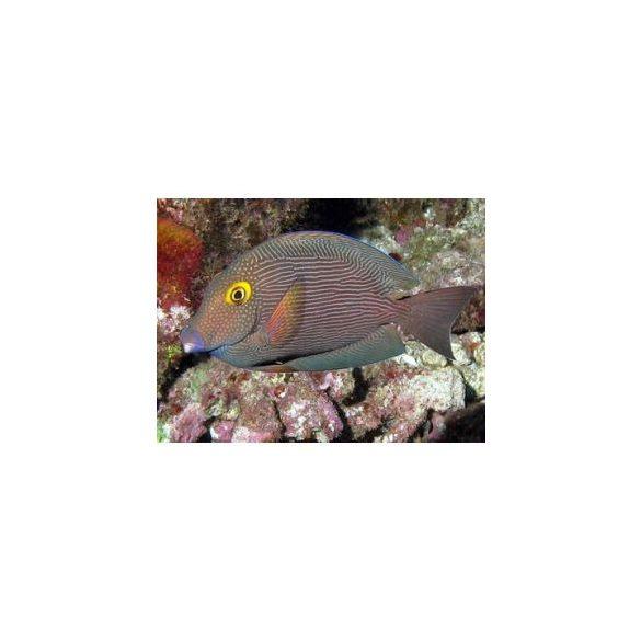 Ctenochaetus strigosus (L)