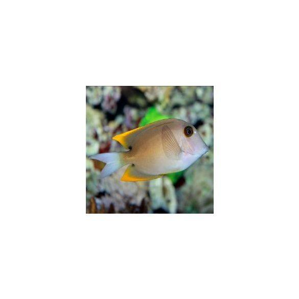 Ctenochaetus tominiensis (M)