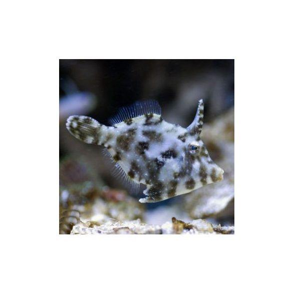 Acreichthys tomentosus (M)