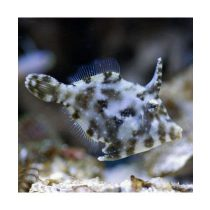 Acreichthys tomentosus (S)