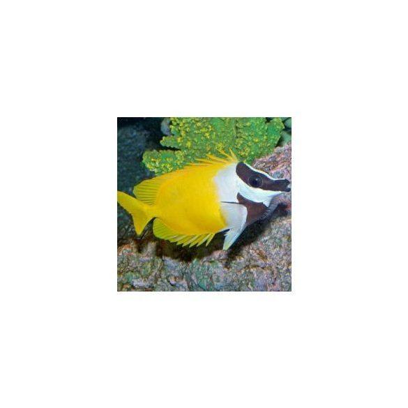 Siganus vulpinus (L)