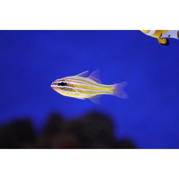 Ostorhinchus cyanosoma (Aranysávos kardinálishal)