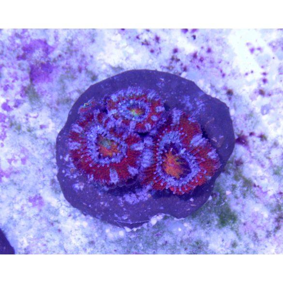 """Acanthastrea lordhowensis (3 fejes frag) -""""Red Premium"""""""