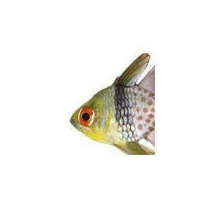Kardinális halak