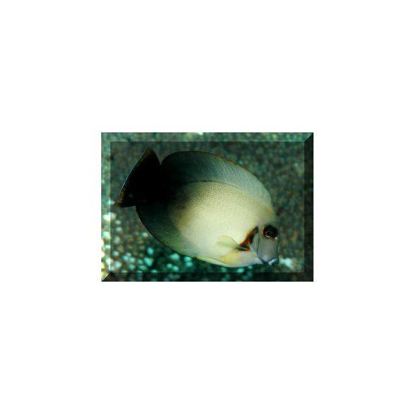 Acanthurus chronixis