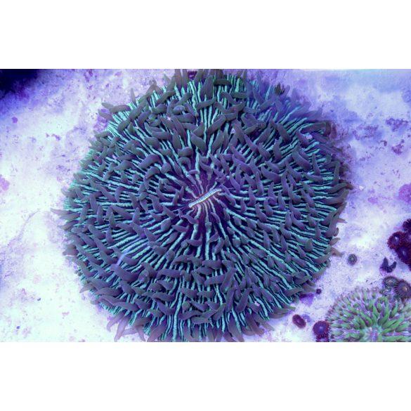 Fungia - zöld ( XL méret) 16cm