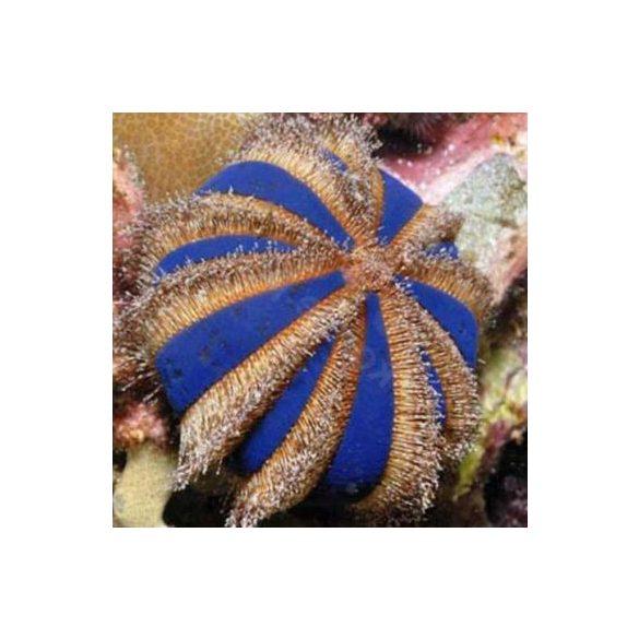Mespilia globulus
